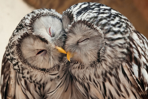 n4ndos:  peasantminaj:  EVEN OWLS HAVE RELATIONSHIPS WHY CAN'T I  OMG AW