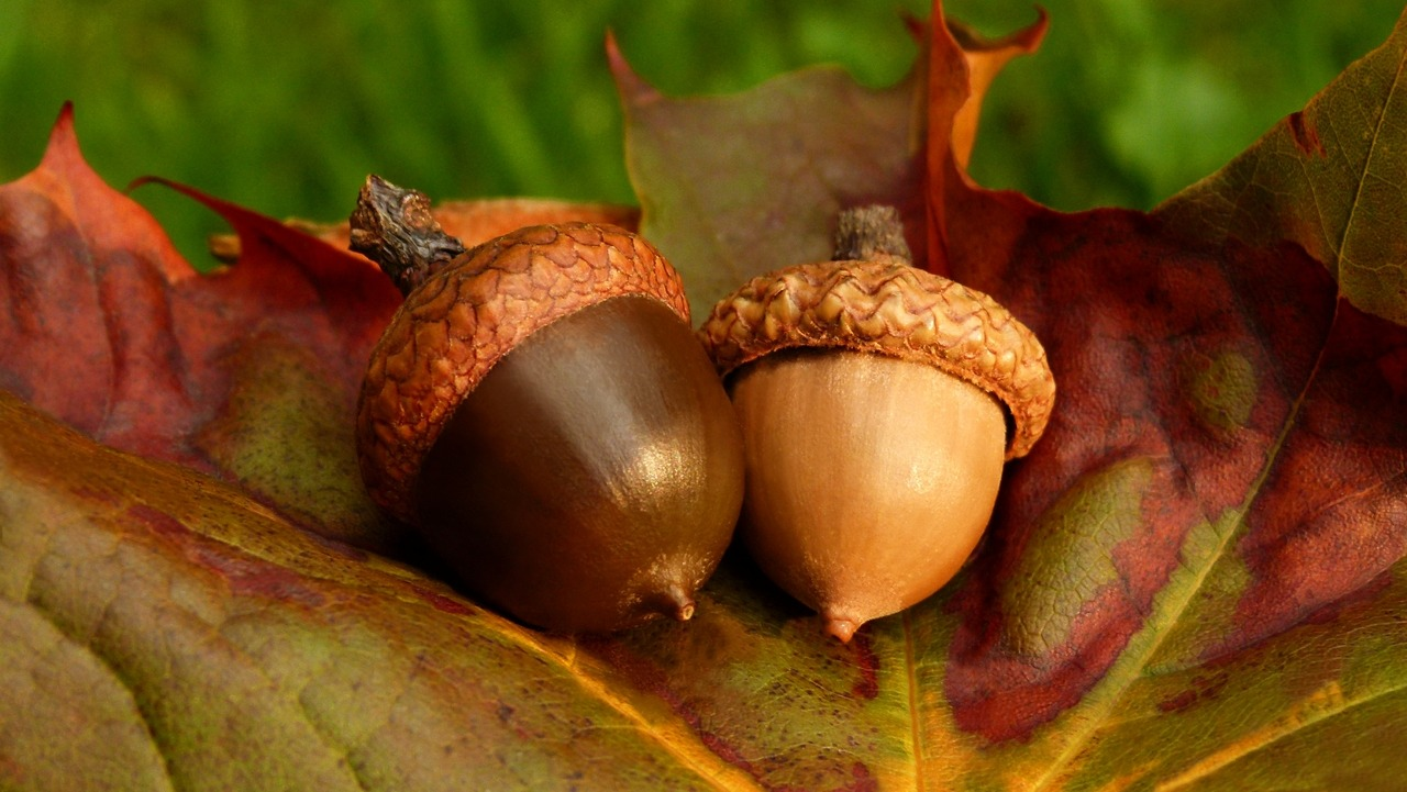 audreydehon:  Acorns and leaf / Glands et feuille