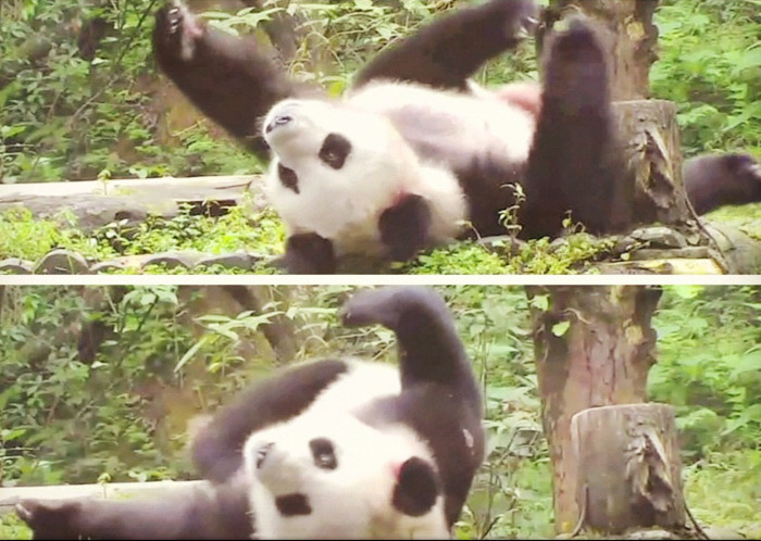 More Pandas?! OK - you got it.  A little panda stretch and yoga to shake out the sleep. This panda at the Wolong Nature Reserve in China looks like he's preparing for shavasana.  The Nature Reserve works to replenish the world's panda population. As the situation at the National Zoo in DC highlights, panda babies are delicate beings. Fourteen-year-old panda, Mei Xiang, has had five failed pregnancies before giving birth to the latest cub who died this week. Tiny, hairless, and vulnerable to infection, keeping panda cubs alive can be a struggle.  But when they do survive, man are they playful! We've got weekly highlights like pandas sharing some bamboo or panda cubs pulling each other down a slide or across a see-saw. Visit and learn more: Explore.org.