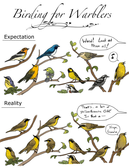 a-simple-biologist:  rhamphotheca:  ewilloughby:  Warbler Expectations  You'd almost think they were common or something.Oh lord help me, I'm drawing birding cartoons now.   After studying warblers this summer- Yep that's about right.