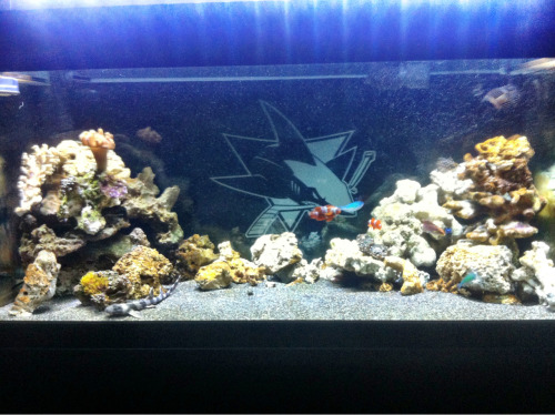 tdpilot:  This is my aquarium, or as I like to all it SHARKQUARIUM! Notice the San Jose Sharks logo in the back. The tank houses an eel, 2 pairs of clown fish, damsels, and of course, a baby shark. It's hard to see him in the picture, but he's there. Now if we could just get this lockout figured out I could stare at this thing between periods!