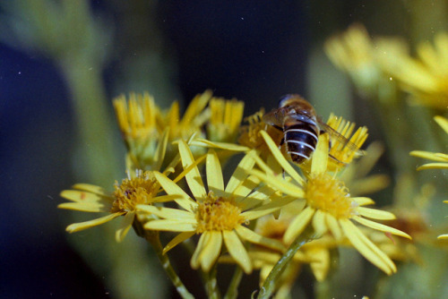 Hoverfly (cheapo scanner test) by uncoolbob on Flickr.