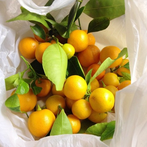 Cumquats from Mr Sticki's sister's garden. For jam I'll need to get some from my Mum's 40year old tree. (Taken with Instagram)