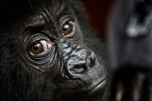 Isangi, a poached nine-month-old Grauer's gorilla, is pictured at Virunga National Park headquarters in Rumangabo, Democratic Republic of CongoPicture: VIRUNGA NATIONAL PARK / LuAnne Cadd / AFP