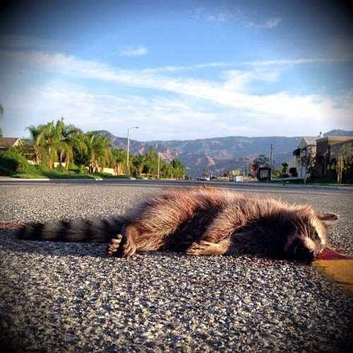 Redlands Sleepin' Racoon #roadkill #coonfatgravy #IE (Taken with Instagram)