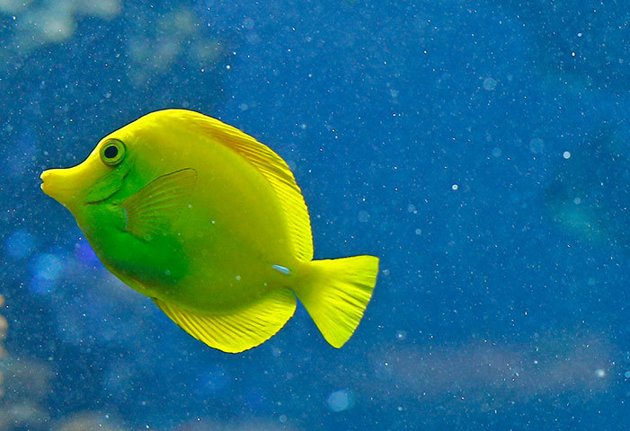 theanimalblog:  Vienna, Austria: A yellow tang fish (Zebrasoma flavescens) swims in the aquarium of the Schönbrunn zoo.  Photograph: Alexander Klein/AFP/Getty Images