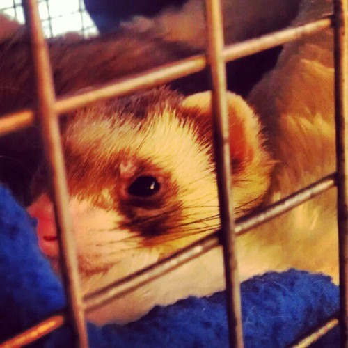 Your weekly Friday #Ferret. #shelter #rescue  (Taken with Instagram)