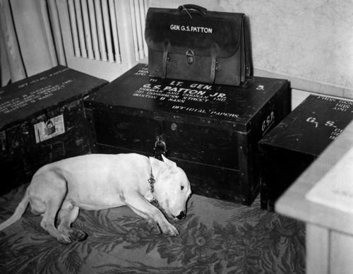 George S. Patton's bull terrier on the day of the general's death.