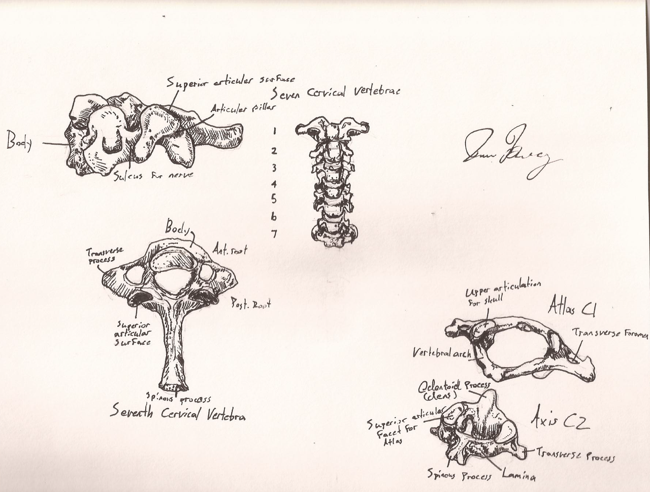 humblelobster:  Anatomy is the only class in which I keep taking notes after it ends.