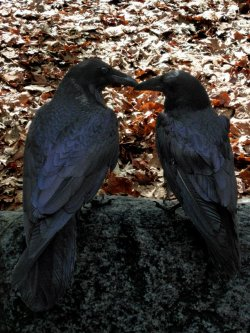 impenguin2:   two Ravens