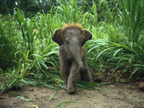 Baby Asian Elephant in Tall Grass Photograph by William Albert Allard Baby elephants are born big, standing approximately three feet (one meter) tall and weighing 200 pounds (91 kilograms) at birth. They nurse for two to three years, and are fully mature at 9 (females) to 15 (males) years of age. Source: http://animals.nationalgeographic.com/wallpaper/animals/photos/baby-animals/baby-asian-elephant/
