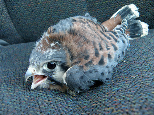 meowgon:  nique:  Baby kestrels are pretty much a head with wings.  like a nerf football