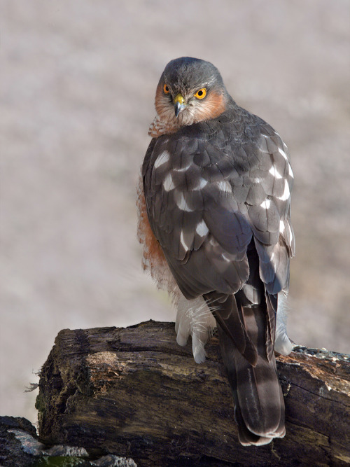 emuwren:  The Eurasian Sparrowhawk - Accipiter nisus, is a small bird of prey in the family Accipitridae . This bird is found throughout the temperate and subtropical parts of the Old World .