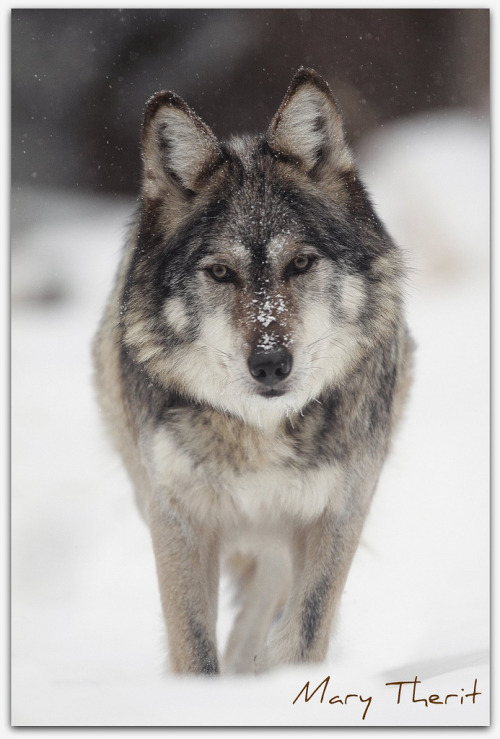 llbwwb:  Snow Wolf (by metherit)