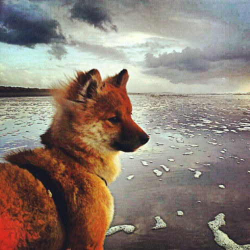 #cute #shibainu #shibastagram #dog #puppy #beach #clouds #ocean #skyline #sunset #sunsetporn #love #summer  (Taken with Instagram)