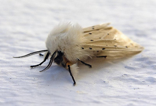 natures-greatest:  buff ermine moth by minipixel on Flickr.