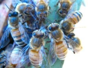 But all is not lost — honey bees have evolved a way to fight back: hygienic behavior where diseased or parasitized larvae are removed from their brood cells, and Varroa-sensitive hygienic behavior which they use to reduce the number of reproductive mites on remaining larvae.  Bees! Finally fighting back!