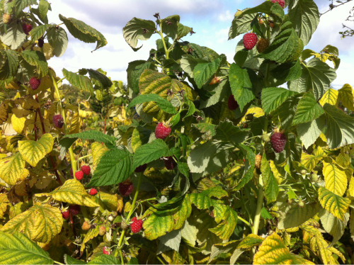 greedygardener:  The autumn raspberries are still cropping heavily and look as though they've a few more weeks to go so long as we don't get any frosts. I've picked another five pounds or so today and have been eating them every day for breakfast.