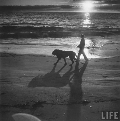 Loomis Dean: Private Floyd Humeston walking pet lion Fagen on leash at beach, 1951. Source: LIFE Photo Archive, hosted by Google.