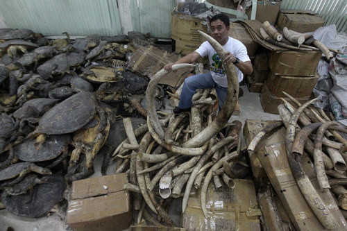 A Filipino wildlife official shows seized elephant tusks and dried sea turtles estimated to be worth more than $2m from a shipment that came from Tanzania in 2009. The Philippines has