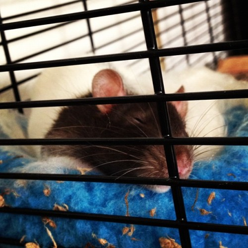 Aww my sleeping angel (^: #Oliver got wore out from exploring his new #rat #manor! Love this little bug!  (Taken with Instagram)