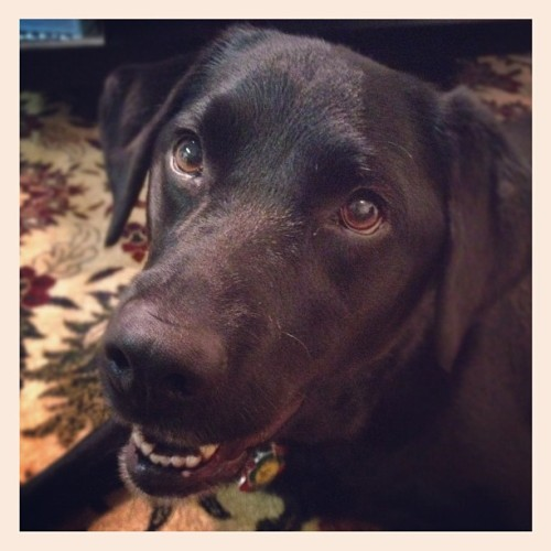 Hello Bella. #blacklab #lab #dog  (Taken with Instagram)