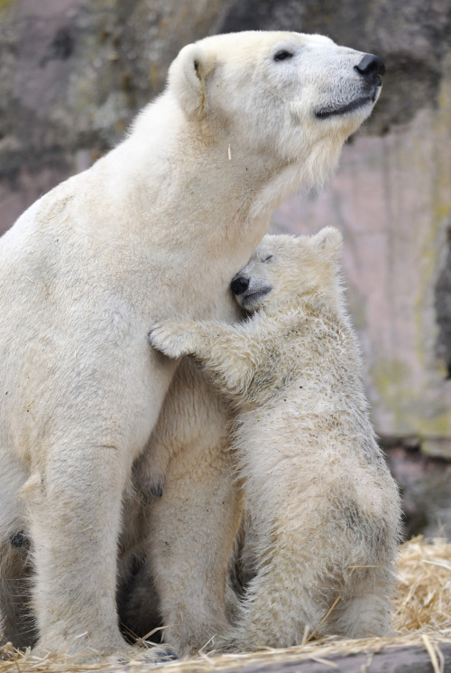redwingjohnny:  polar-bear: *PLEASE VISIT ~~>  http://www.savethearctic.org     please help stop the oil companies from drilling in the arctic.  They're so beautiful!