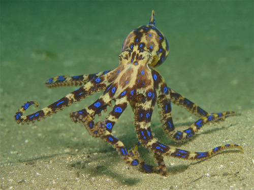 fresh-n-salty:  Dancing Rings by Soul Diver on Flickr. Blue ringed octopus