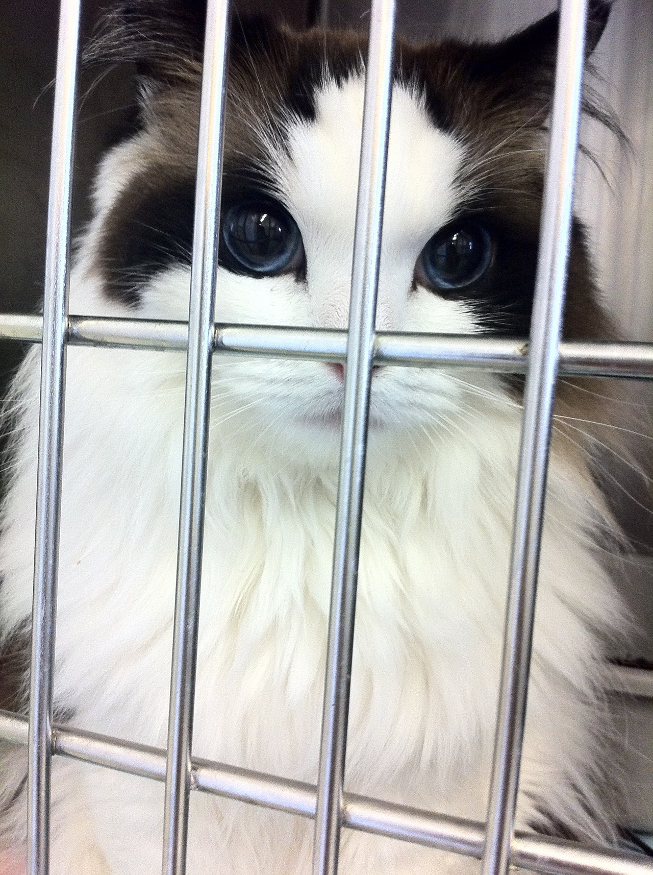 tragedy-13:  my-psychological-tower:  theyoungandjaded:  this cat is prettier than most humans..  [jealous]  So adorable, the bars make me sad though. Poor little thing :((