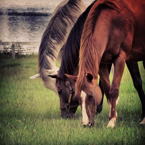 pbizz:  #horses #living #photography #life #amazing #lake (Taken with Instagram)