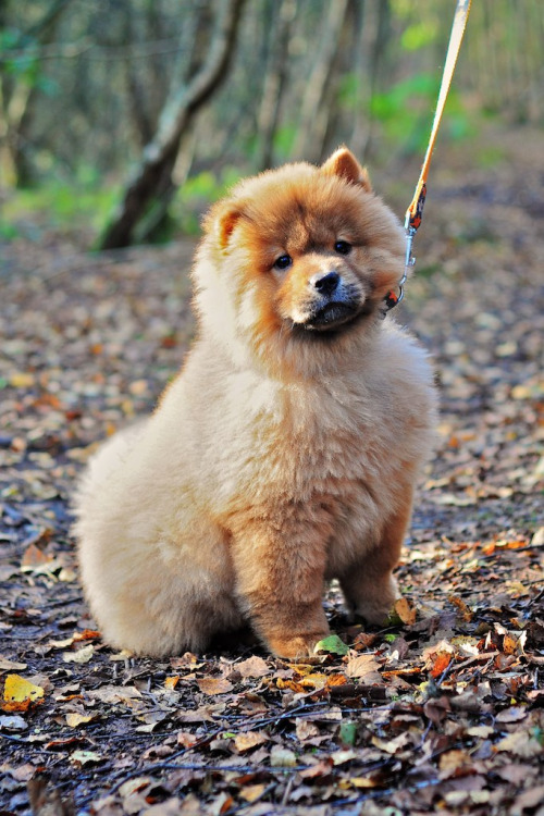 Beautiful chow chow pup!