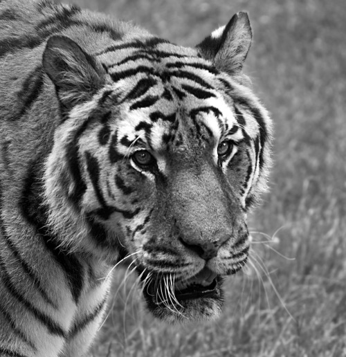 llbwwb:  Tiger on the prowl (by Theresa Elvin)