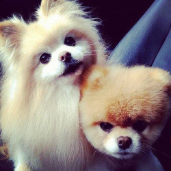 xoxokellibelli:  xoxokellibelli:  I FUCKING NEED A POMERANIAN. I SERIOUSLY CANT DEAL ANYMORE.  ^ hahahahah that's my comment. but i repeat!