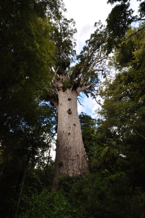 Kia ora Tanemahuta. One of our most beautiful and astounding Kauri Trees in the Waipoua forest up North.