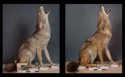 A coyote before and after the restoration.