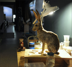 A jack rabbit in process of restoration.