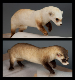 A ferret before and after the restoration.