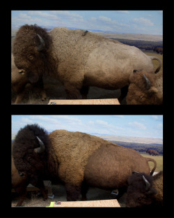 A bison bull before and after the restoration.