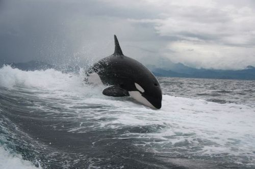 iamsiriuslyme:  can't sleep. Here's a picture of an Orca.