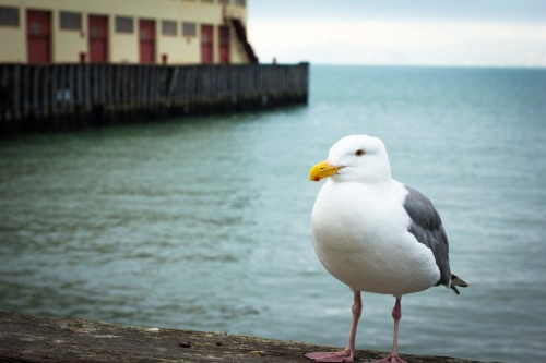 Saw this beautiful seagull at Fort Mason just chillin by the water.