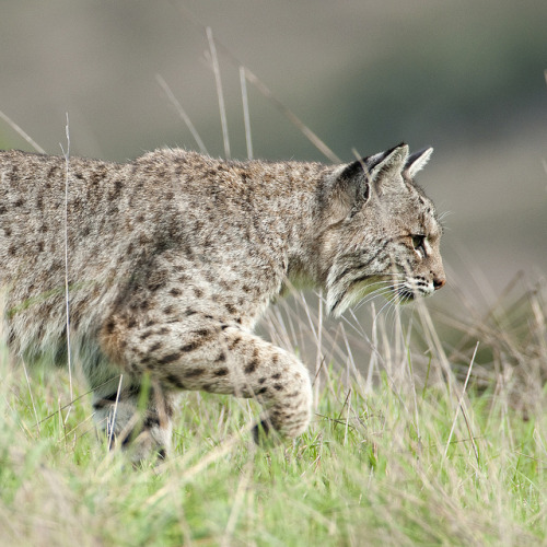a bobcat stalks the hillside by matt knoth on Flickr.