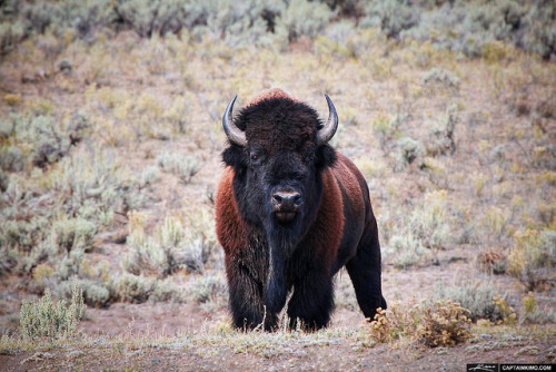 Wild-Bison-at-Lamar-Valley-in-Yellowstone-National-Park-Wyoming by Captain Kimo on Flickr.