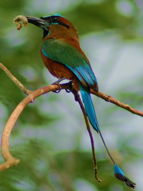Pajaro Reloj / Turquoise-browed Motmot by jvverde on Flickr.