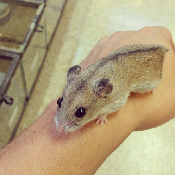 #Chinese #dwarf #hamster #pet  (Taken with Instagram)