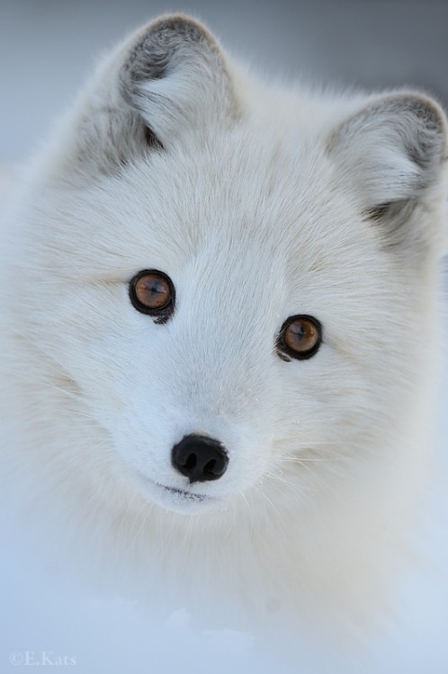 earthlynation:  arctic fox by edwin kats