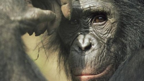Great ape habitat in Africa has dramatically declined Great apes, such as gorillas, chimps and bonobos, are running out of places to live, say scientists. They have recorded a dramatic decline in the amount of habitat suitable for great apes, according to the first such survey across the African continent. Eastern gorillas, the largest living primate, have lost more than half their habitat since the early 1990s. Cross River gorillas, chimps and bonobos have also suffered significant losses, according to the study. Details are published in the journal Diversity and Distributions.