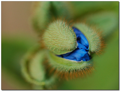 crystallized-lemongrass:  Blue poppy again.This time just a bud holding  the promise of a stunning flower inside; ready to enfold all its beauty.