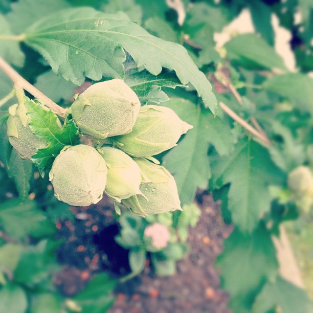Hops grow in #toronto. (Taken with Instagram)