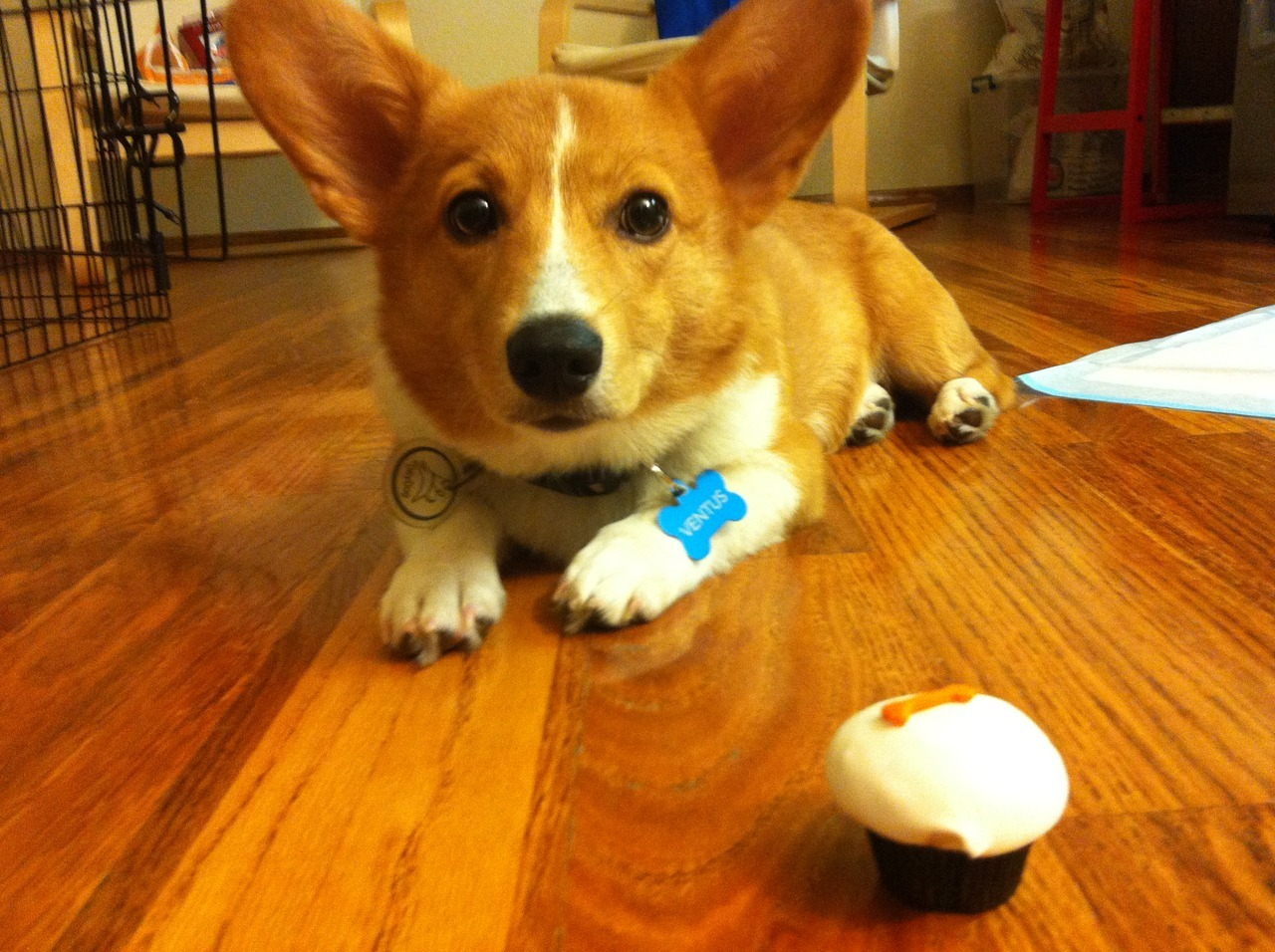 "ventusthecorgi:  ""Can I pleaseee have it, pleasee?"""