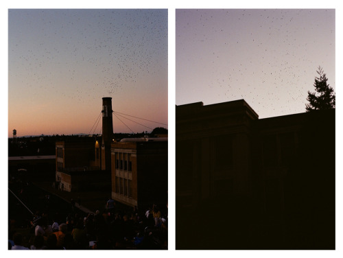 eyefivestyle:  Chapman Swifts   The Chapman Swifts are part of a migratory population of Vaux's Swifts that roost seasonally in the chimney of Chapman Elementary School in Portland, Oregon, USA. It is North America's largest concentration of Vaux's Swifts.[1] Every evening from mid-August to mid-October, thousands of swifts gather in the sky over the school shortly before sunset. Count estimates of 1,700 to 35,000 swifts have been reported. Shortly after sunset, over a period of 10 to 30 minutes, they fly into the top of the brick chimney (constructed c.1925) to roost on the interior surface until they depart at sunrise.[2] The school is on the birds' migratory route to their wintering sites in southern Central America andVenezuela.[3] The swifts attract several predators, such as Peregrine Falcons and Cooper's Hawks, as well as hundreds to thousands[4][2] of human spectators.[5]   Last year I watched a hawk swoop down and grab a swift just as the flock was descending into the chimney. Suddenly, the whole flock of swifts stopped their descent and began chasing the falcon through the evening sky - just a massive black swarm of birds pursuing a single falcon for I'd guess ten solid minutes before reforming their cyclonic descending pattern to enter the chimney.  So. Don't fuck with a flock of swifts.
